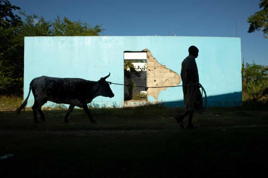 Reynald Louis Charles leads one of his cattle past a toilet on the banks of the Meille river at the abandoned UN base near Mirebalais, the centre of the 2010 cholera epidemic