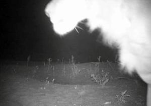 A lion caught by camera trap in Alatash national park, Ethiopia, near the border with Sudan.