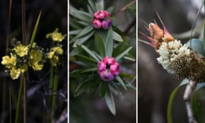 Australian native plants. (L) Erect guinea flower (M) the common pinkberry and a (R) pineapple candleheath.