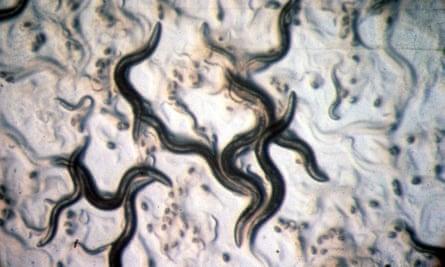 Caenorhabditis elegans, a nematode worm
