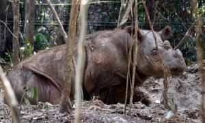 Harapan, the Sumatran rhino