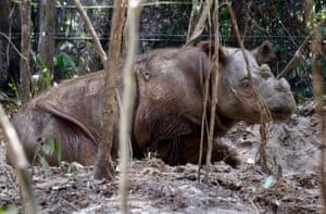 US-born Sumatran Rhino, Harapan