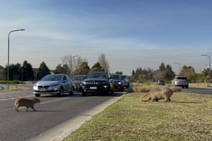 A capybara crosses a street while others eat grass in a gated community in Buenos Aires, Argentina