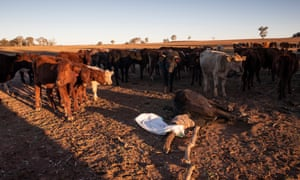 A cow collapses from hunger on a farm outside Coonabarabran.