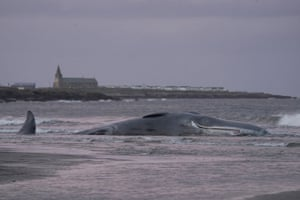 The body of a sperm whale washes up at Newbiggin-by-the-Sea in Northumberland. The species, the largest of the toothed whales, are not often seen in the North Sea as it lacks the giant and colossal squid they would usually feed on