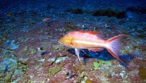 Hawaiian pigfish