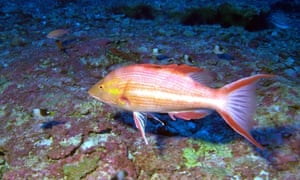 A Hawaiian Pigfish in the Papahānaumokuākea Marine National Monument.