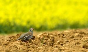 A red-legged partridge in Burgundy. Eight in 10 partridges have disappeared from France in 23 years, a study showed.