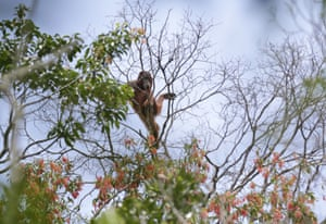 A wild orangutan in Sungai Mangkutub, Central Kalimantan, Indonesia