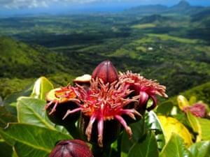 Endangered 'Ohe kiko'ola Polyscias waimeae on island of Kaua'i, Hawaii, US