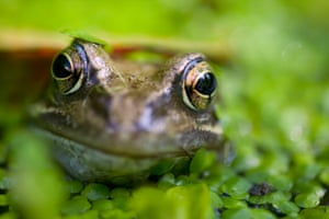 A common frog.