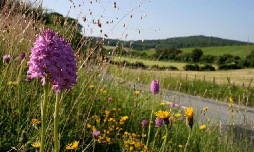 Pyramidal orchids on verge in Dorset