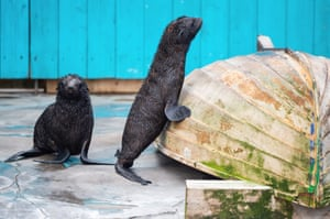 Hanover, Germany. Northern sea bear calves dry off after a swim in their enclosure