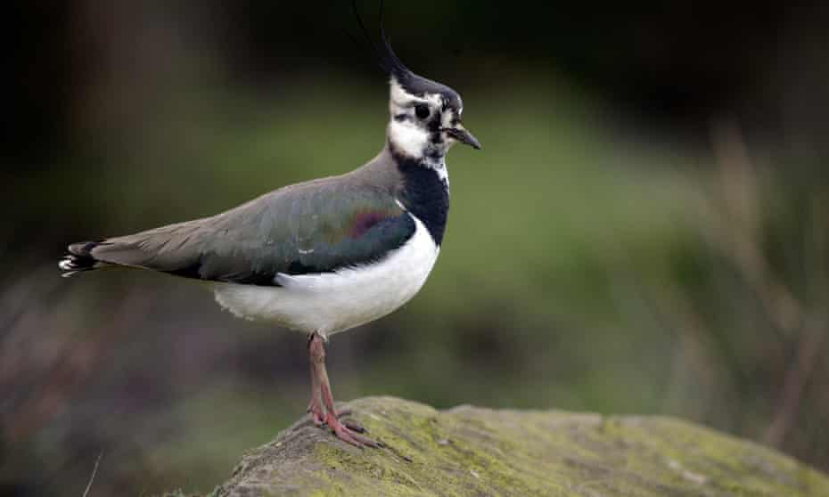 Lapwing on the alert. Its shouts seem to express alarm and perhaps mischief too.