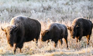 Plains bison roam in a section of the Elk Island national park, Canada