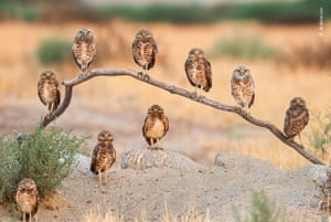Nine owls staring