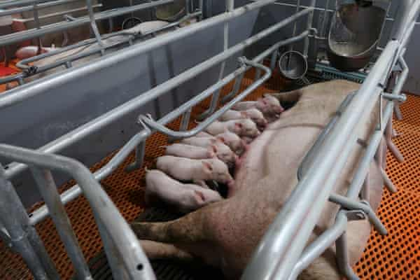 Piglets suckle from a sow