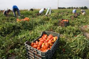 Tomato pickers near Foggia, Italy.