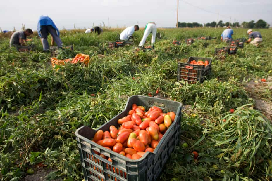 Tomato pickers near Foggia, Italy.