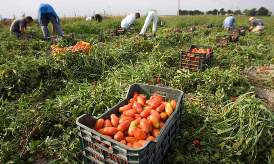 Farm workers pick tomatoes in southern Italy