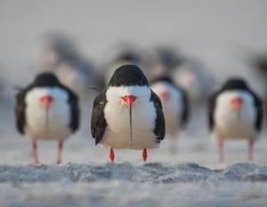 A group of black skimmer birds