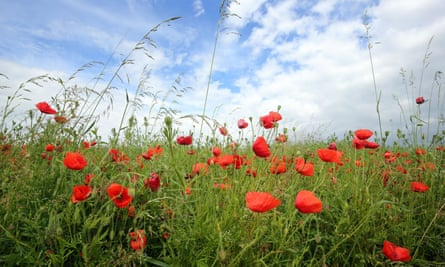 Poppies growing on a former battlefield in France