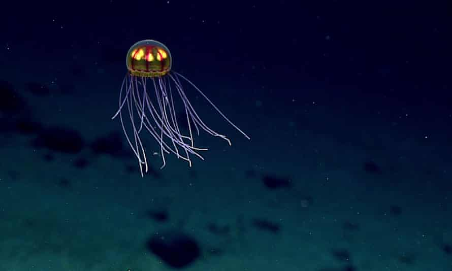 A jellyfish in the Pacific Ocean's Mariana Trench.