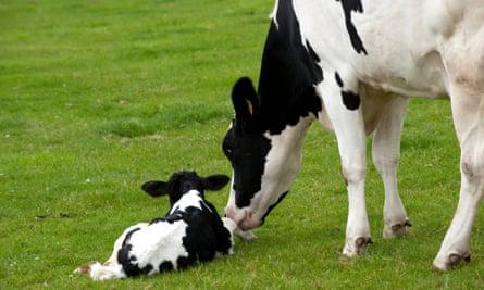 Mother's milk … Holstein cow with a newborn calf.