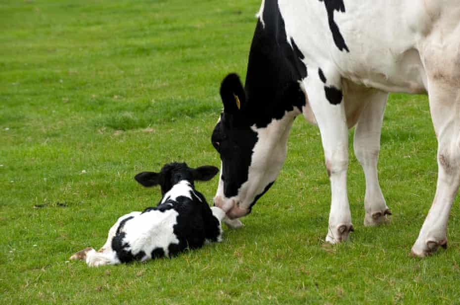 Holstein dairy cow with newborn calf in field