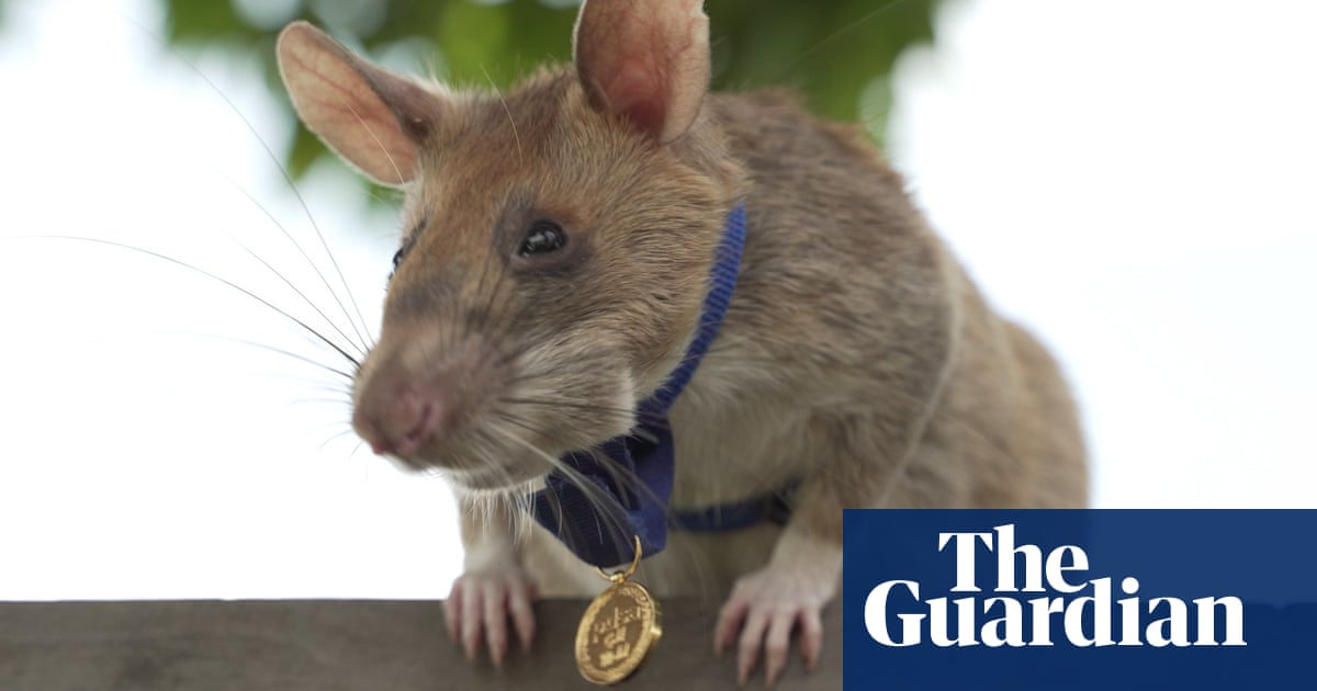 Magawa the mine-sniffing rat in Cambodia retires – video