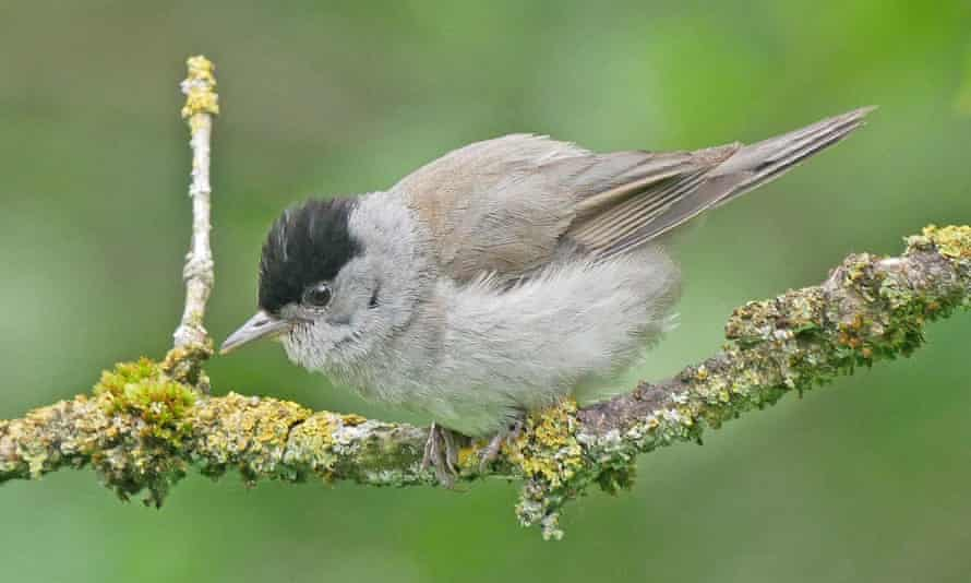 A blackcap, also known as the nightingale of the north.