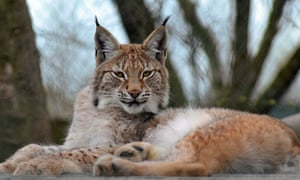 The lynx effect: search for one-year-old Lillith continues