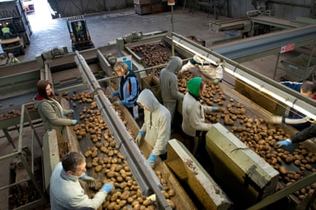 Migrant workers sort potatoes on a Lincolnshire farm.