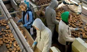 Workers sort potatoes on a Lincolnshire farm.
