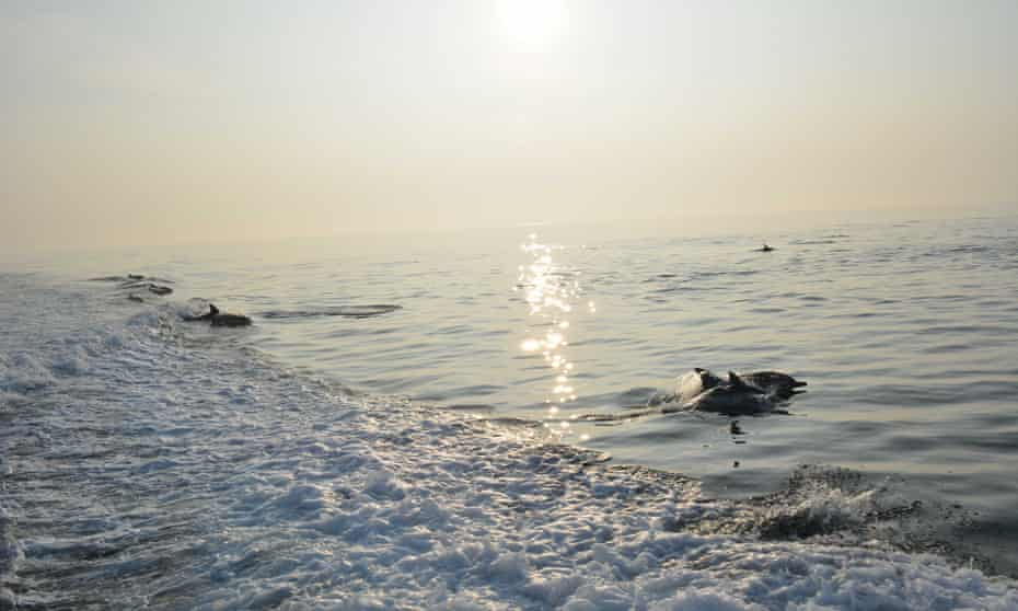 Dolphins in the wake.