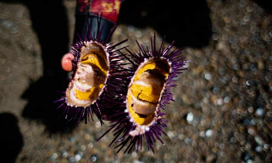Ali Bouzari, a culinary scientists, shows the rich yellow roe still inside a purple sea urchin at Timber Cove in Jenner, California.