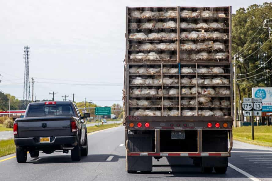 A truck loaded with chickens drives on the highway to deliver fowl to a meatpacking plant