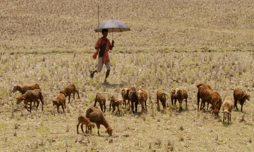 A villager stands under his umbrella to protect him from the sun as he watches his goat herd grazing in the field in the eastern Indian city Bhubaneswar, India