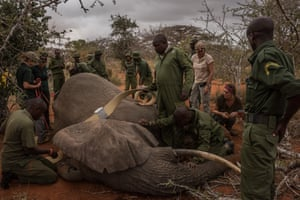 An elephant collaring team works to get a collar around Salama, a female African elephant.