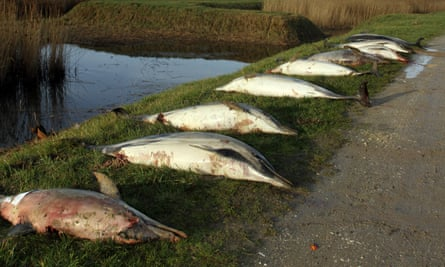 Dead dolphins lined up in La Tremblade on the Atlantic coast.