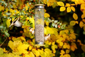 Three European goldfinches squabbling at a bird feeder in a garden in south-east England.