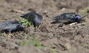 Starlings (Sturnus vulgaris).