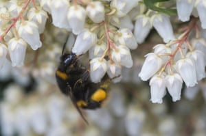 A bee forages in a garden. The UK bee population has seen a severe decline over the past 20 years.