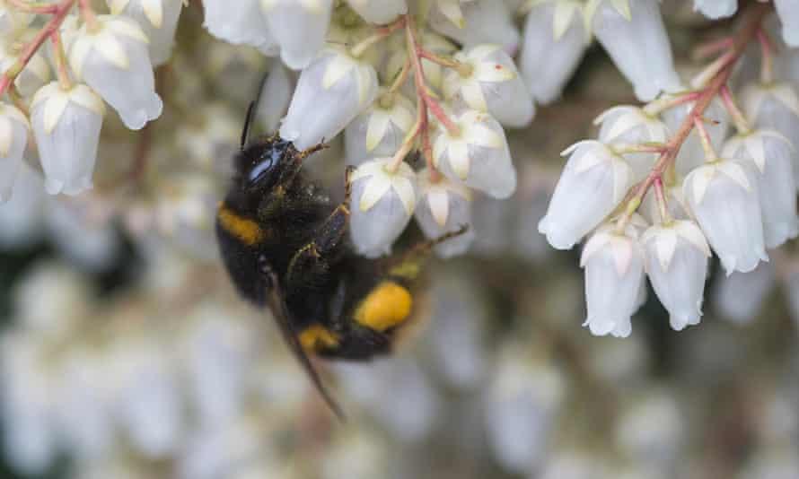 A bumblebee in Scotland
