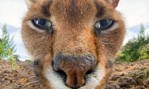 A close up of a caracal lynx's face
