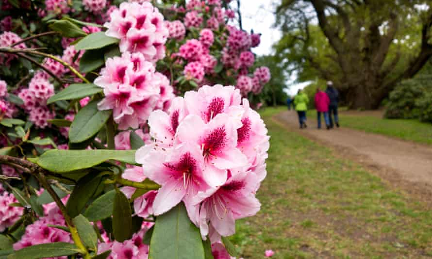 Rhododendrons in Sheringham Park