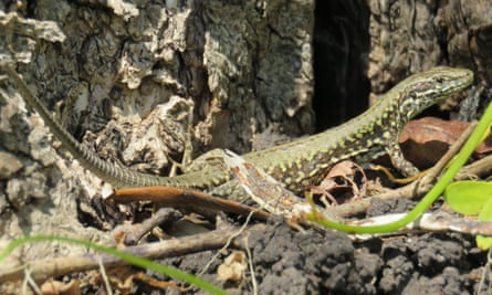 Common wall lizards in the sun