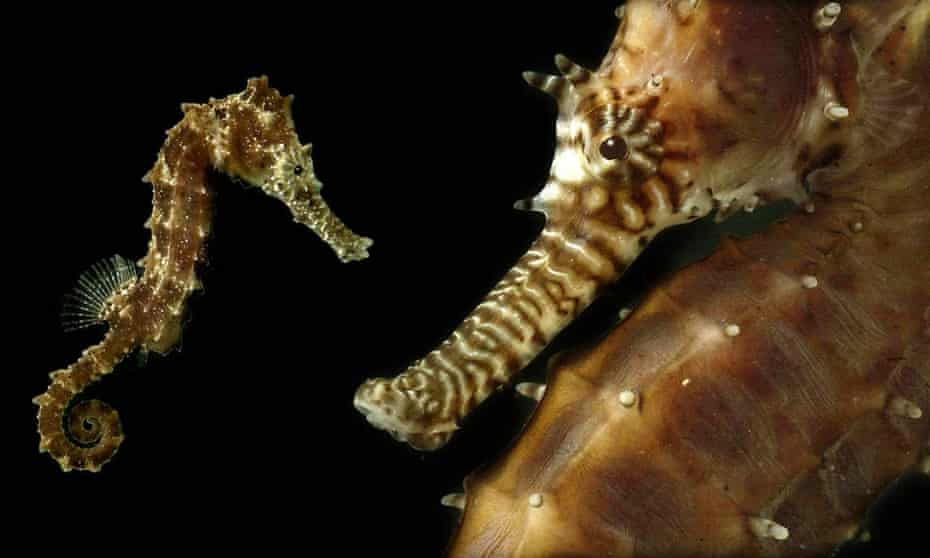 The rightwing advocacy group  Moms for Liberty says a book about seahorses contains too many details about the mating rituals of seahorses.