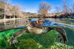 A bufo bufo, or common toad, spotted swimming close to the surface at Buèges spring in Occitania, France.