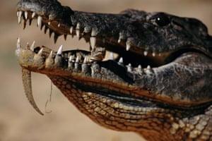 Newly hatched Nile crocodile (Crocodylus niloticus)